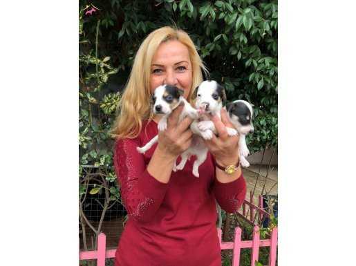 Maskeli Kısa Bacak Jack Russel Terrier Yavrularımız