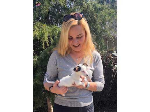 Oyuncu Sevimli Harika Jack Russel Terrier Yavrularımız