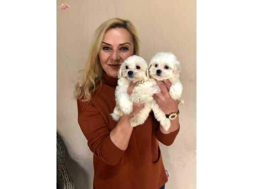 Pamuk Şeker Sevimli Maltese Terrier Yavrularımız