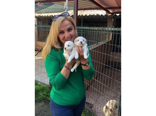 Şirin mi Şirin Bembeyaz Maltese Terrier Yavrularımız