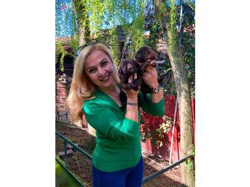 Mükemmel Chocolate Labrador Retriever Yavrularımız