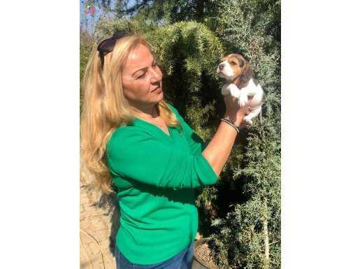 Oyuncu Sevimli Harika Beagle Yavrularımız