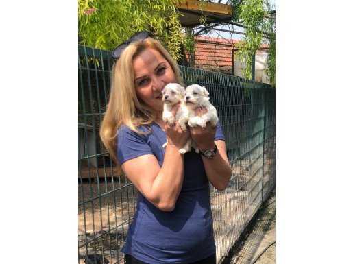 Pamuk Gibi Kar Beyaz Maltese Terrier Yavrularımız