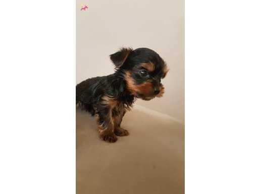Şirinmi Şirin Mini Boy Yorkshire Terrier Yavrularımız