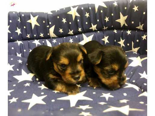 Mini Boy Şirinmi Şirin Yorkshire Terrier Yavrularımız