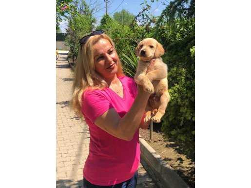 Üretim Çiftliğinden Mükemmel Labrador Retriever Yavrularımız
