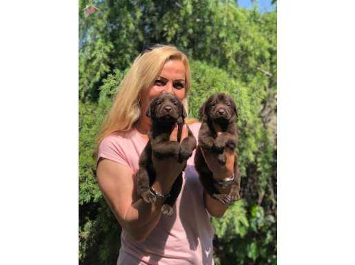 Muhteşem Chocolate Labrador Retriever Yavrularımız