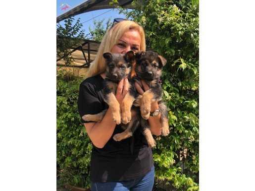 Irk Garantili Muhteşem Alman Çoban Köpeği Yavrularımız