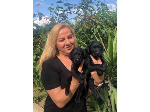 Mükemmel A Kalite Labrador Retriever Yavrularımız