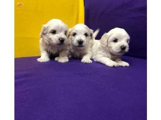 Kar Beyaz Harika Maltese Terrier Yavrularımız