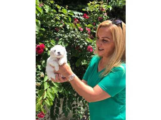 Pamuk Gibi Harika Maltese Terrier Yavrularımız