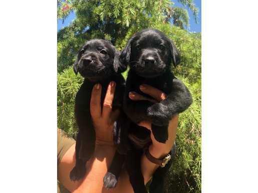Irk Garantili Mükemmel Labrador Retriever Yavrularımız
