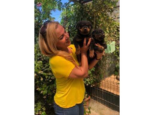 Macar Koca Kafa Muhteşem Rottweiler Yavrularımız