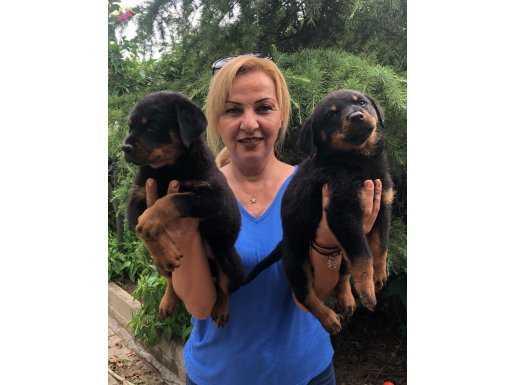 Muhteşem Koca Kafa Rottweiler Yavrularımız