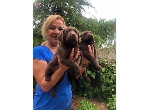 Mükemmel Irk Garantili Labrador Retriever Yavrularımız