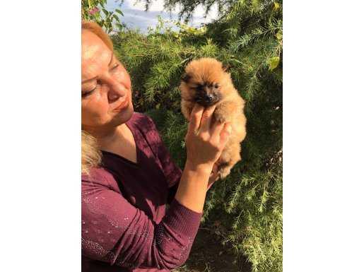 Irk Garantili Harika Pomeranian Yavrularımız