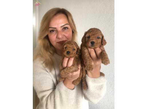 Mükemmel Toy Poodle yavrularımız