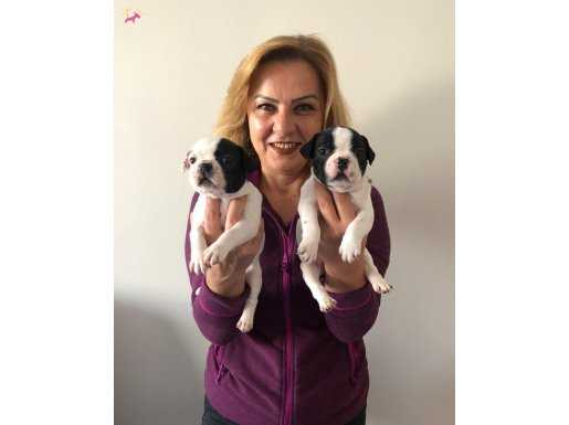 Üretim çiftliğinden harika French Bulldog Yavrularımız