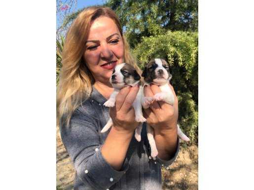 Maskeli Jack Russel Terrier Yavrularımız