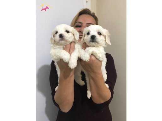 Pamuk Şeker Maltese Terrier Yavrularımız
