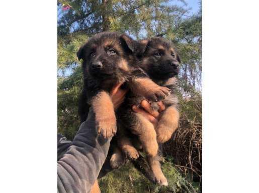 Muhteşem Düşük Bel Alman Çoban Köpeği Yavrularımız