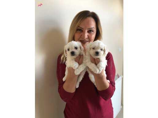 Kar beyaz Maltese Terrier Yavrularımız