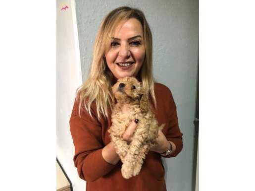 Irk garantili Harika Toy poodle Yavrularımız