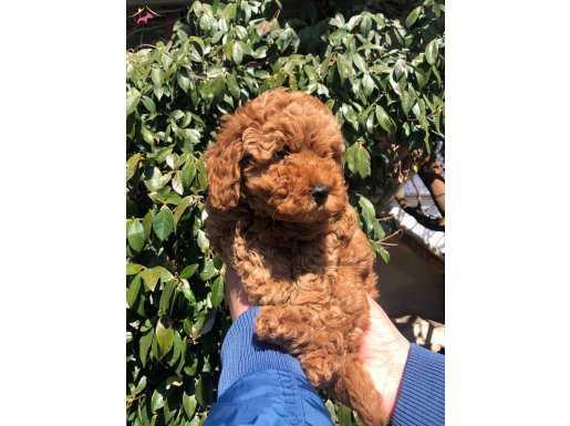Mükemmel Sevimli Toy Poodle Yavrularımız