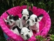 Şirin sevimli french bulldog yavrularımız