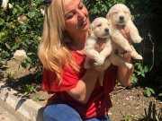 Irk Garantili Küt Burunlu Mükemmel Golden Retriever Yavrular