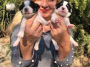 Kısabacak Oyuncu Jack Russel Terrier Yavrularımız