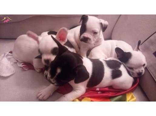 saglıklı  french bulldog yavruları