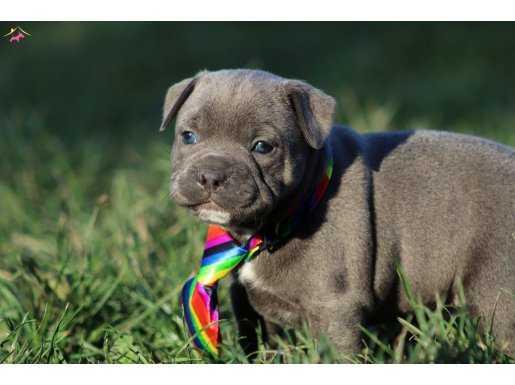 İngiliz Staffordshire Bull Terrier yavruları