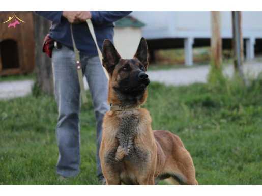 Malinois Eğitimli İş Köpeği Akademi K9 güvencesiyle