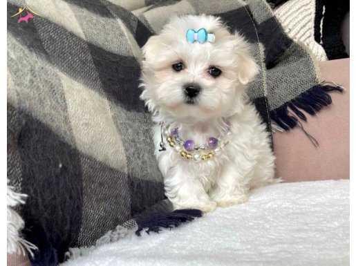 Maltese terrier bebekler