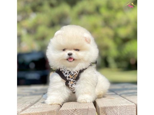 Teacup Pomeranian boo