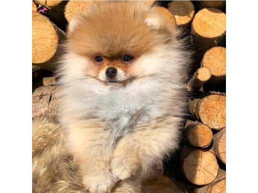 Birinci sınıf kalitede sağlık ve ilk garantili Pomeranian