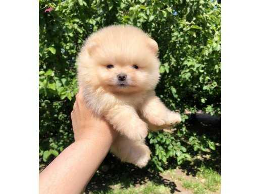 Sağlık ve ırk garantili Süper Pomeranian  yavrularımız