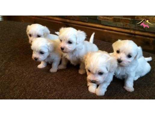 Tea Cup Maltese Terrier Yavruları Kar Beyaz