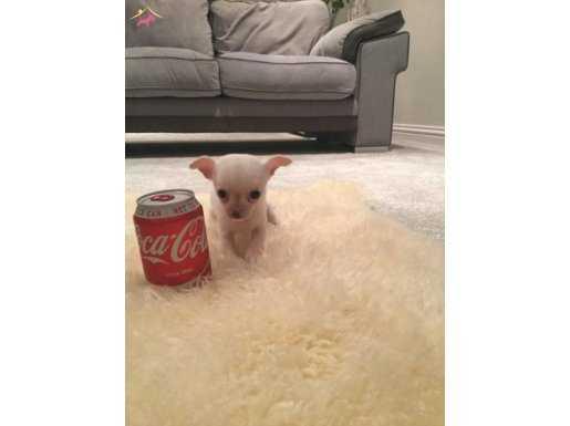 Mini Tea Cup Chihuahua Yavruları