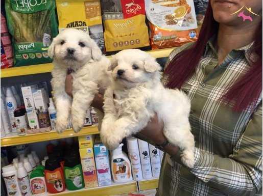 Export Lisanslı Kar Beyaz Maltese Terrier Yavruları