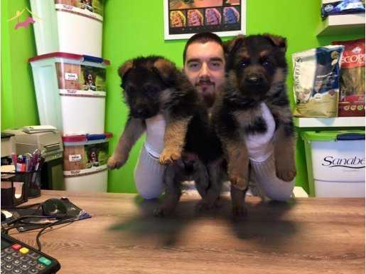 Show Kalite Alman Çoban Yavruları Yağız Pet Club !!