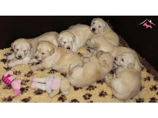Satılık Baby Face Golden Retriever Yavruları