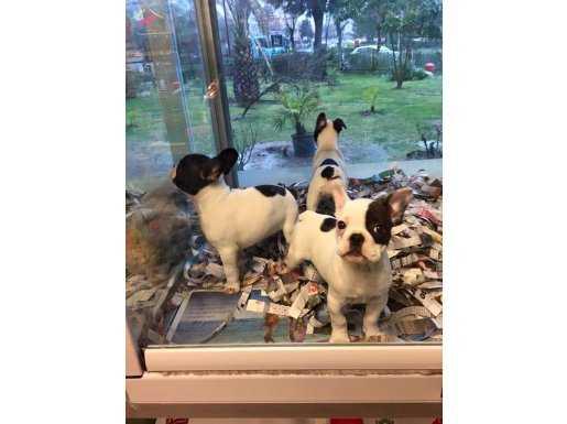 Show Kalite 3 Aşılı Fransız Bulldog Yavruları Yağız Pet Club