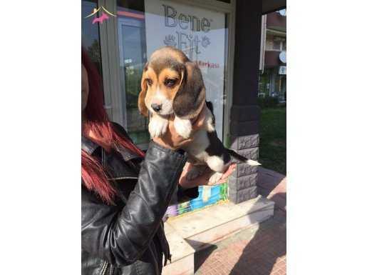 Three Color Elizabeth Beagle Yavruları % 100 Safkan