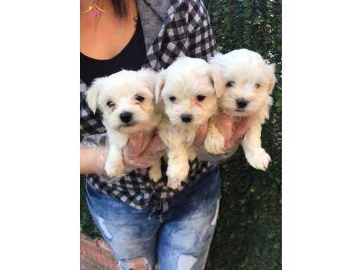 Tea Cup Kar Beyaz Maltese Terrier Yavrular Mağazamızda
