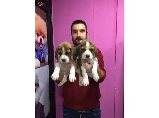Three Color Elizabeth Beagle Yavrular Mağazamızda