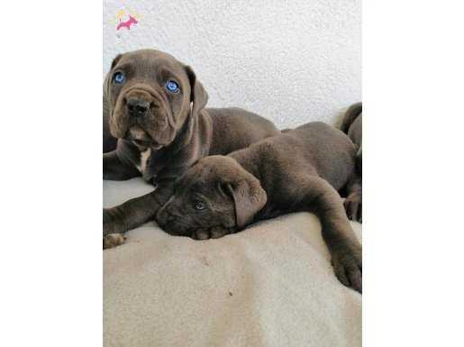 Mavi Gözlü Blue Cane Corso Yavruları
