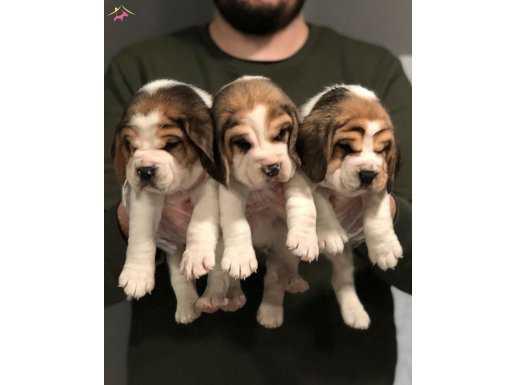 3 Renk Çok Özel Elizabeth Beagle Yavruları