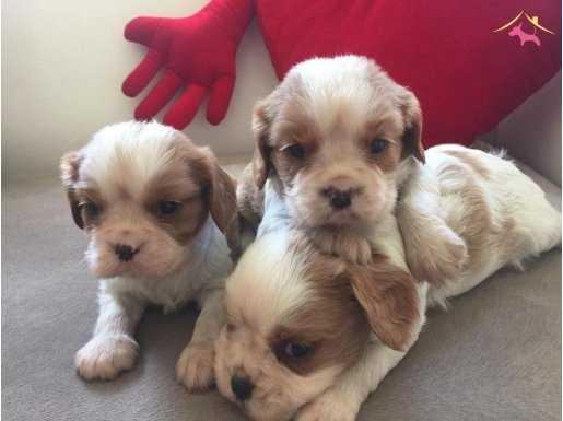 Cavalier King Charles Yavrularımız Yağız Pet Club\'ta
